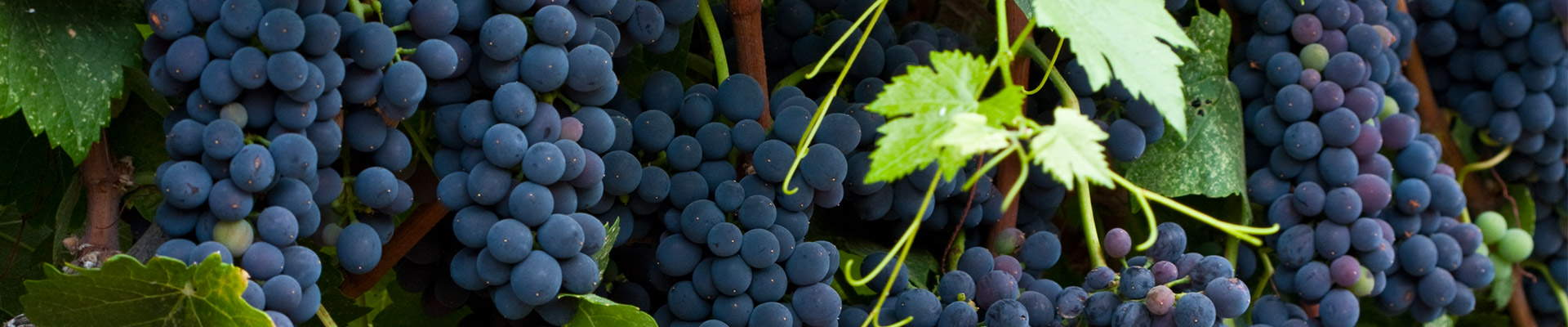 Wine grapes hanging